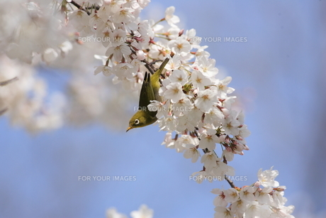 桜とメジロの写真素材 [FYI00290293]