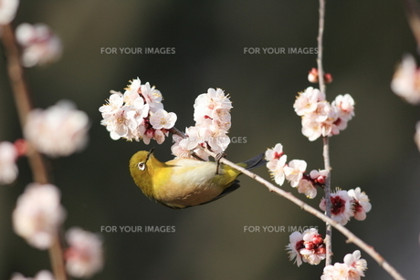 梅とメジロの写真素材 [FYI00290295]