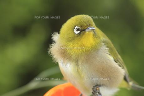 メジロの写真素材 [FYI00290299]