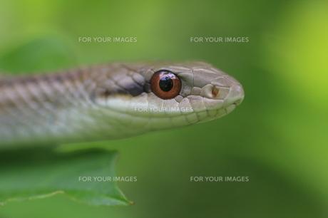 シマヘビの写真素材 [FYI00290335]