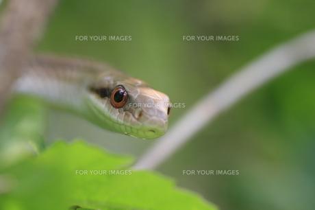 シマヘビの写真素材 [FYI00290344]
