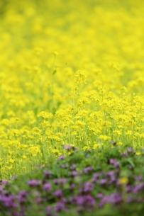 菜の花の素材 [FYI00290535]