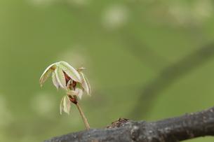 新芽の写真素材 [FYI00290593]