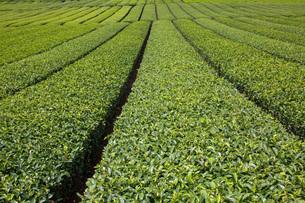 茶畑の写真素材 [FYI00290852]