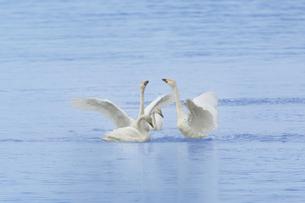 白鳥の写真素材 [FYI00290922]