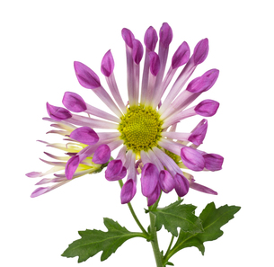 菊の写真素材 [FYI00291052]