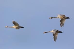 白鳥の飛翔の素材 [FYI00291115]