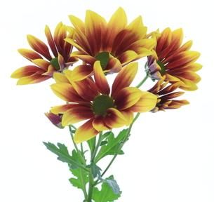菊の素材 [FYI00291176]