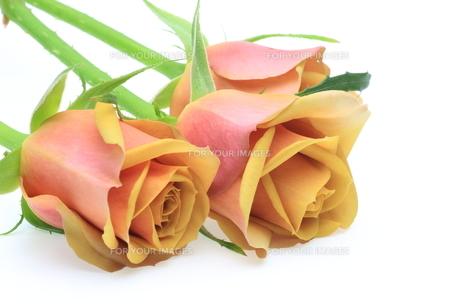 薔薇の素材 [FYI00291266]