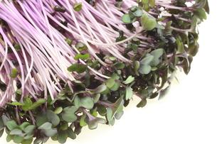 紫キャベツの新芽の写真素材 [FYI00291539]