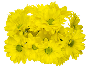 菊の花束の写真素材 [FYI00291565]