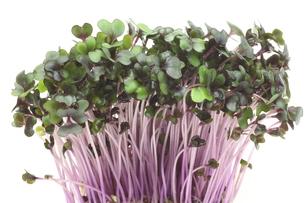 紫キャベツの新芽の写真素材 [FYI00291573]