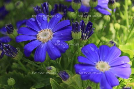 滴ある青い花の素材 [FYI00297234]