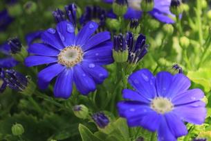 滴ある青い花の写真素材 [FYI00297234]