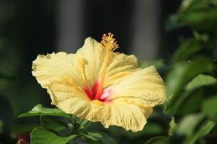 夏の花、イエローハイビスカスの写真素材 [FYI00297245]