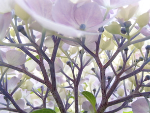 紫陽花(夢想花)の素材 [FYI00297282]