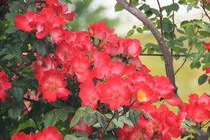 薔薇、深紅薔薇、秋薔薇、カクテルの写真素材 [FYI00297311]