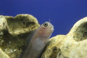 ギンポ、魚の写真素材 [FYI00297333]