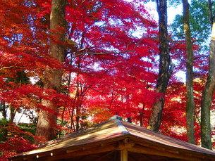 錦秋、モミジ、紅葉の写真素材 [FYI00297375]