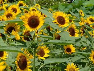 初夏盛花の写真素材 [FYI00297446]
