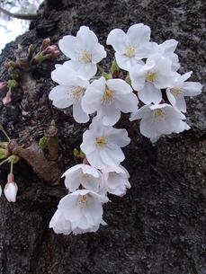 樹中満開の写真素材 [FYI00297453]