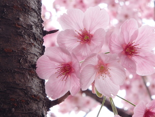 陽光(桜)の写真素材 [FYI00297455]