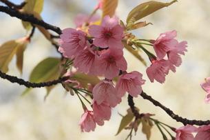 桜(陽光桜)の写真素材 [FYI00297456]