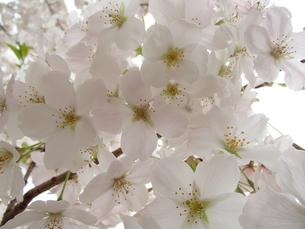 大島桜満開の写真素材 [FYI00297460]
