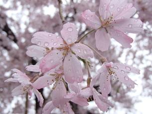 雨中桜花の写真素材 [FYI00297468]