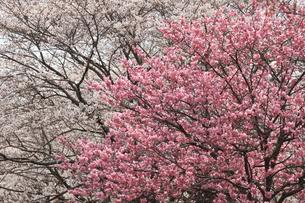 春咲く桜花の写真素材 [FYI00297504]