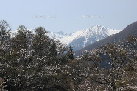 雪景桜花の図の素材 [FYI00297516]