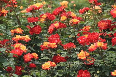 薔薇咲き乱れの素材 [FYI00297541]