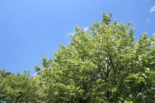 菩提樹の木立の素材 [FYI00297545]