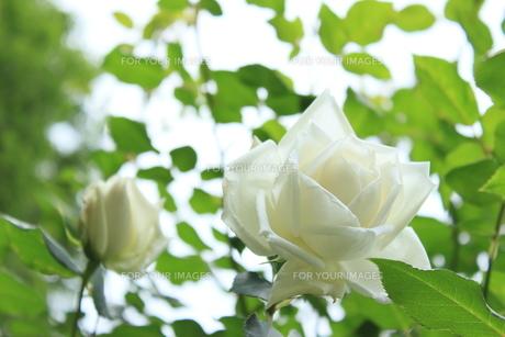 緑中白薔薇の素材 [FYI00297546]
