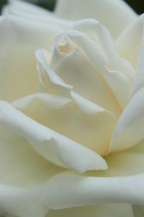 ホワイトローズの素材 [FYI00297550]
