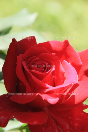 深紅薔薇の素材 [FYI00297553]