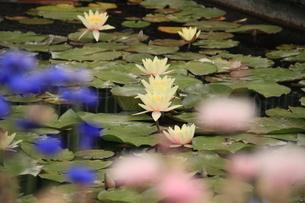 花咲く中睡蓮の素材 [FYI00297556]