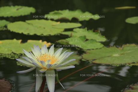 水辺の花の素材 [FYI00297559]