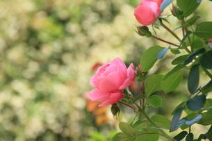 輝く薔薇の素材 [FYI00297560]