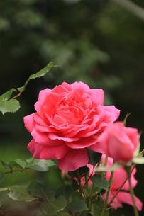 深紅薔薇の素材 [FYI00297565]