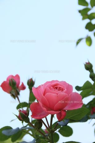 二輪花(薔薇)の素材 [FYI00297572]