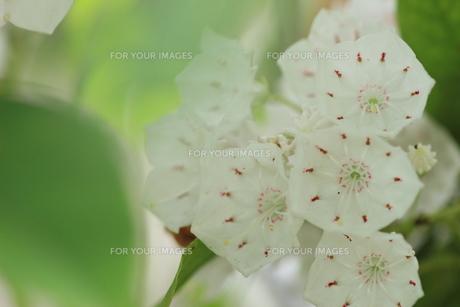 カルミア花風景の素材 [FYI00297578]
