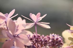 可憐花の素材 [FYI00297579]