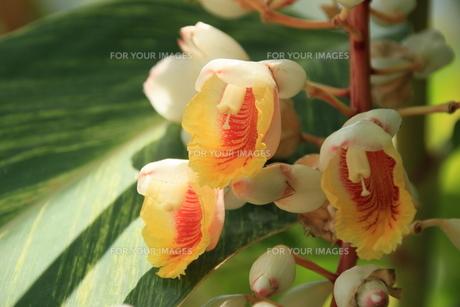 ゲツトウの花の素材 [FYI00297581]