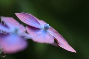 アジサイ花の素材 [FYI00297588]