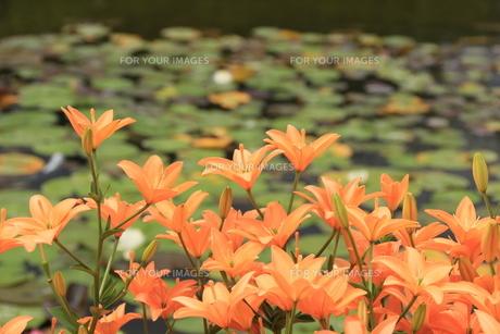 水辺の花の素材 [FYI00297598]