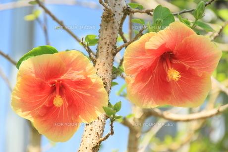 二輪南国花の素材 [FYI00297603]
