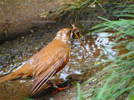 水辺で枝をくわえる小鳥の写真素材 [FYI00298477]