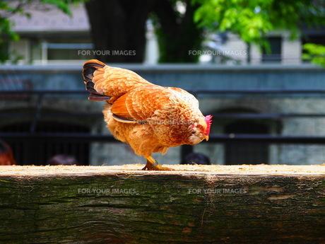 木をつつこうとする鶏の写真素材 [FYI00298480]