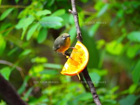 オレンジの上に乗るメジロの写真素材 [FYI00298485]